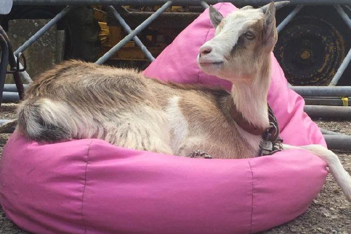 Djali the goat